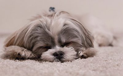 How to Remove Pet Stains and Odours From Carpet